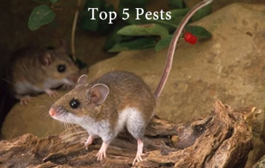 Top 5 Pests